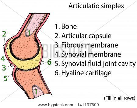 Simplex joint vector. Medical poster illustration. Mobile connection of bones. Somatic system connection of bones. Anatomical atlas