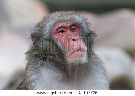Portrait of a very superciliously looking Japanese monkey