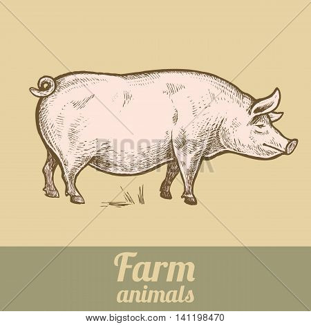 Farm animal pig. Colored print. Style vintage engraving. Vector illustration of a series - farm animals isolated. Template for creating packaging design farm products and signage natural food stores.