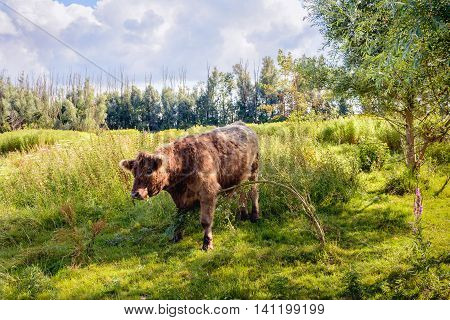 Brown Galloway bull quietly eating a young willow tree in a Dutch nature reserve in the summer season.