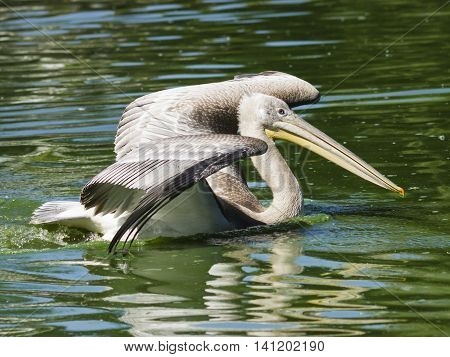 Spot-billed or grey pelican Pelecanus philippensis swimming in the pond with spreaded wings close-up portrait selective focus shallow DOF