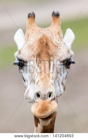 Giraffe Close Up, Selective Focus