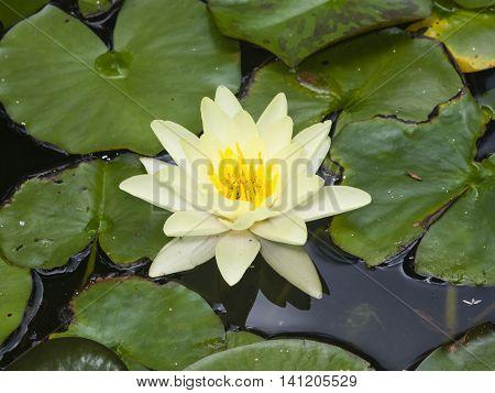 European White Waterlily Water Rose or Nenuphar Nymphaea alba flower macro selective focus