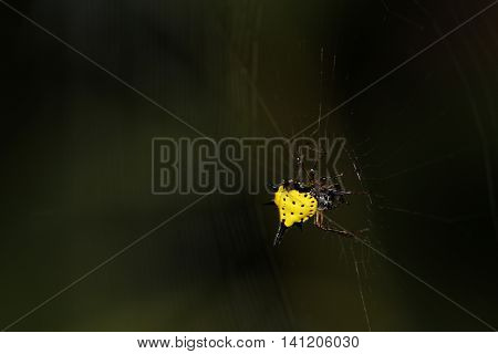 Yellow Black Spiny Spider on the spider web