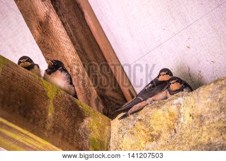 Four young swallows (Hirundo rustica) sat on rafters preparing for first fight