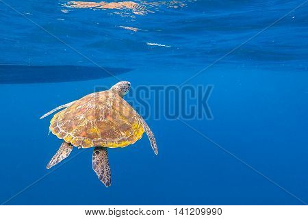 Marine green turtle, Chelonia mydas, swimming in blue water with copy space.