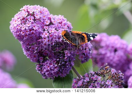 An Atalanta butterfly on purple flower with a green background