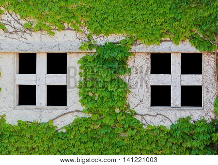 Old White Window Of Abandoned House With Creeping Plant Green Leaves