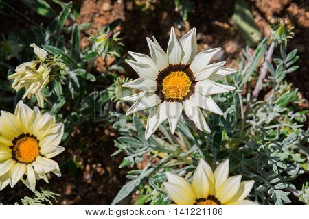 Beautiful Gazania Flower In Flower Garden.