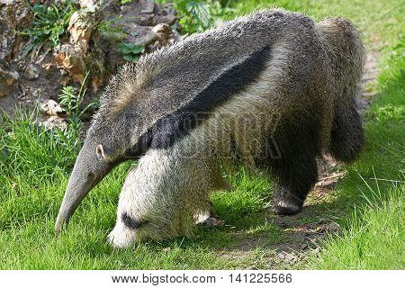 Giant Anteater (Myrmecophaga tridactyla) walking in its natural habitat