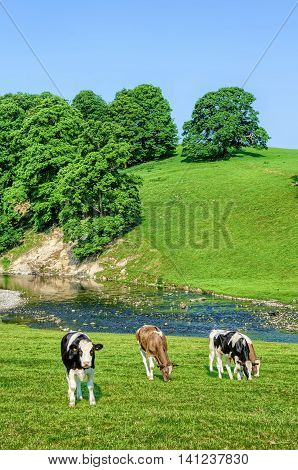 Cattle grazing in green grass of field next to River Bela in Cumbria, England against blue skies on sunny day.