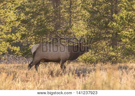 bull elk bugling backlit during the rut with pesky flies