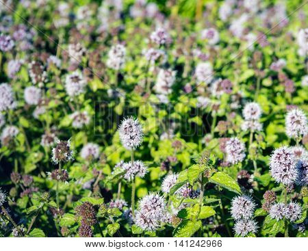 Closeup of a large field full of lilac and purple budding and blooming Water Mint or Mentha aquatica plants with hairy green leaves in their own wet natural habitat.