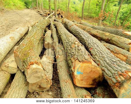 Wood logs in deciduous forest after wood exploitation