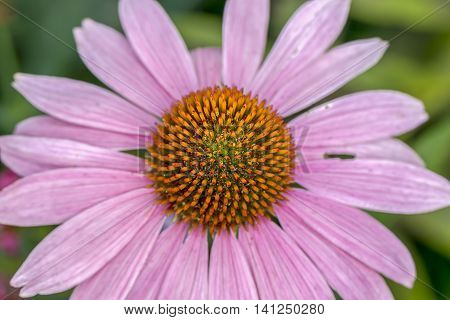 Pretty pale purple cone flower. A close up shot of the Pale Purple Cone flower.
