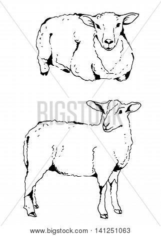 Sheep Vector Illustration