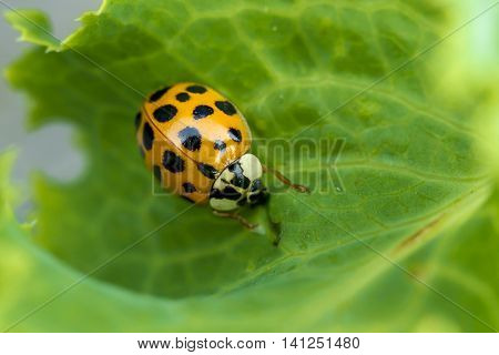 Ladybug on a leaf. An orange and black ladybug on a leaf.