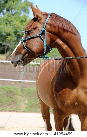Side view head shot of a beautiful horse on farm