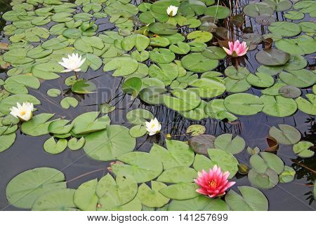 Pink And White Nymphaea Flowers On The Pond Surface