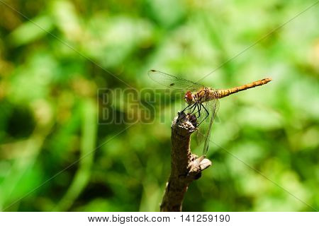 Yellow Dragonfly On A Dry Twig