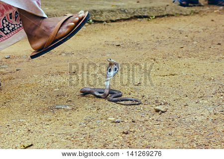 King Cobra Ophiophagus hannah. The world's longest venomous snake. Venomous snake prepares for attack. Cobra Hooded dangerous snake. Man comes to the snake