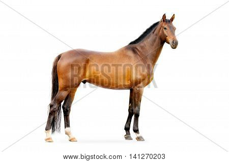 The bay horse isolated on the white