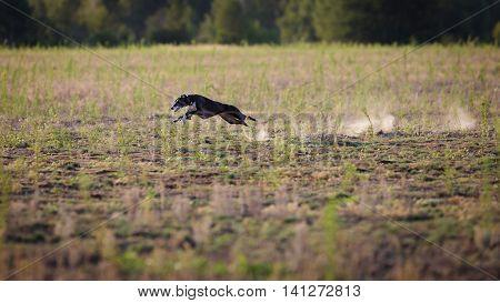 Coursing. Whippet Dog Pursues Bait.
