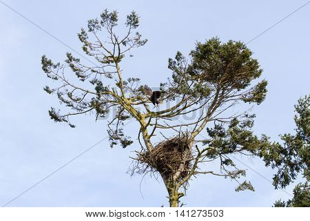 Bald Eagle and nest at delta BC Canada