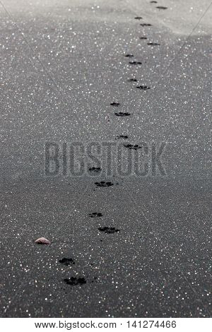 Dog paw prints heading down a beach of black sparkly sand next to a lone sea shell.