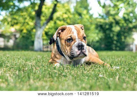 Cute English Bulldog Puppy