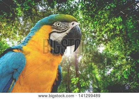 Blue and Yellow Macaw in rainforest