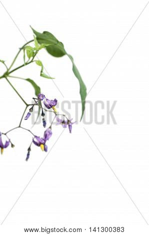 Snakeberry plant over white background close up shot