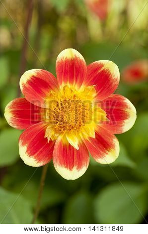 Close up of a red and yellow Dahlia Pooh flower