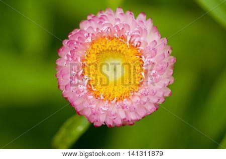 Pink strawflower (Helichrysum bracteatum) with yellow in the center