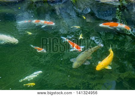 Carp of the pond