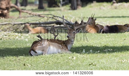 Deer Resting In The Park