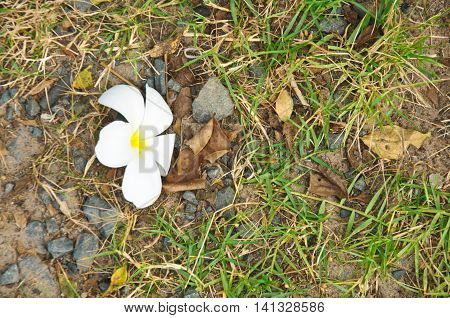 White Plumeria flower lay on grass ground