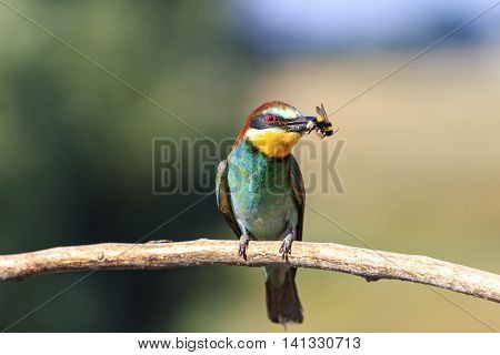 european bee eater with a bumblebee in its beak, colorful feathers, a unique moment, a wild bird