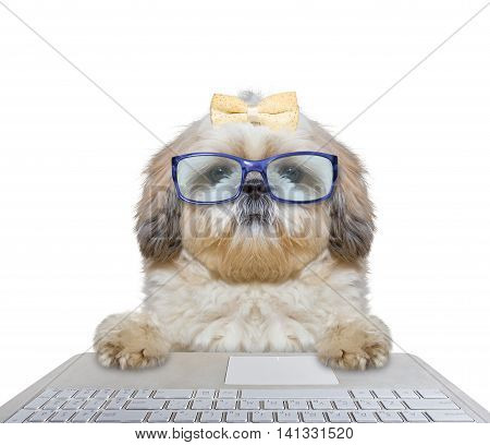 Cute dog in glasses working on the computer -- isolated on white