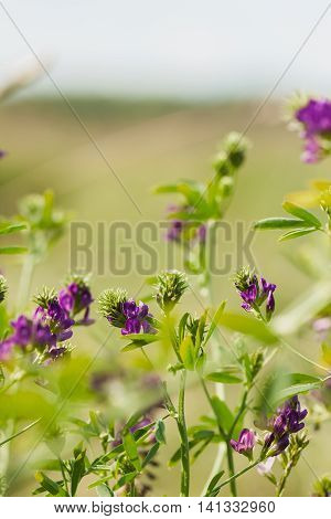 Purple wildflowers and fresh grass. Sunny day. Conception fragility, environmental insecurity