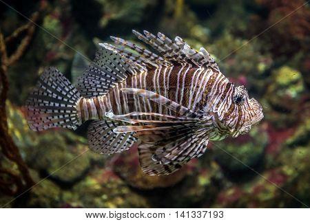 red lionfish swimming in a large aquarium