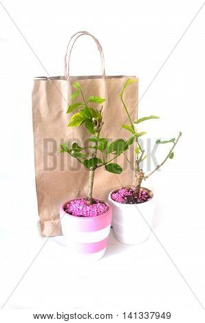 young Jasminum tree in flowerpot on white