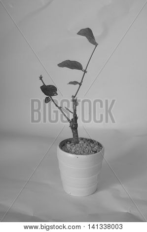 Young Seedlings Jasminum in a flowerpot, black and white tone