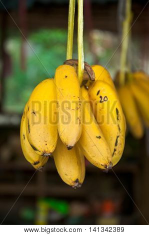 A bunch of bananas hanging, yellow banana