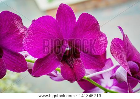 Vibrant violet orchids of the Orchidaceae Family on the Phylogenetic tree.