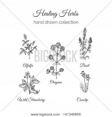 Holistic Medicine. Healing Herbs Illustration. Handdrawn Alfalfa, Oregano, Basil, Cowslip and Wild Strawberry. Health and Nature collection. Vector Ayurvedic Herb. Herbal Natural Supplements. Organic plants.