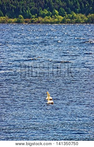 Swan couple in Loch Ness in Scotland. Loch Ness is a city in the Highlands in Scotland in the United Kingdom.