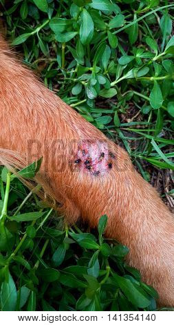 Many flies Stingers are wound on the leg of a dog brown closeup.