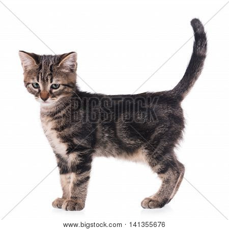 Cute little kitten isolated on white background