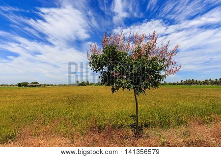 Lagerstroemia floribunda with flower in rice field and blue sky background poster